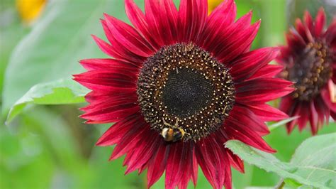 Red Sunflower With Background of Green Leaves HD Flowers