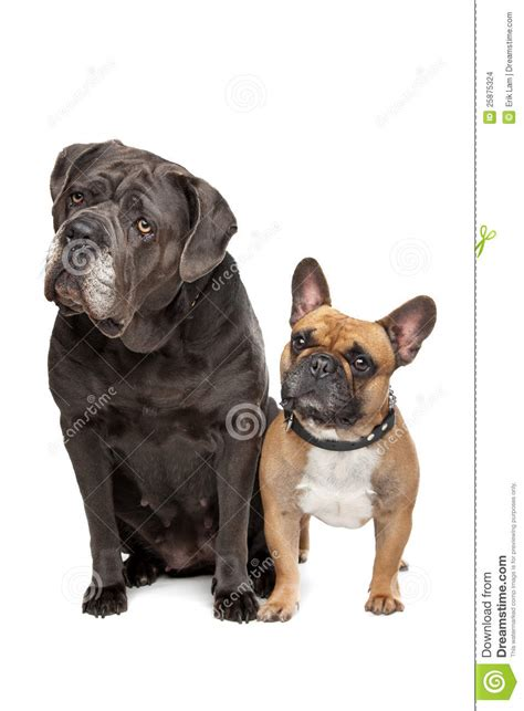 Cane Corso And French Bulldog Stock Photo - Image of brown