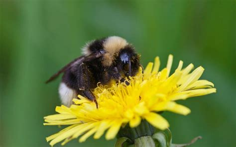 Why dandelions are the heroes of spring and deserve a