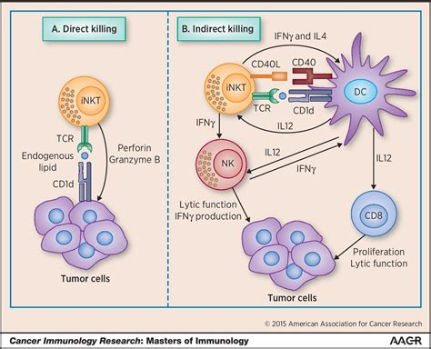 The Regulatory Role of Invariant NKT Cells in Tumor