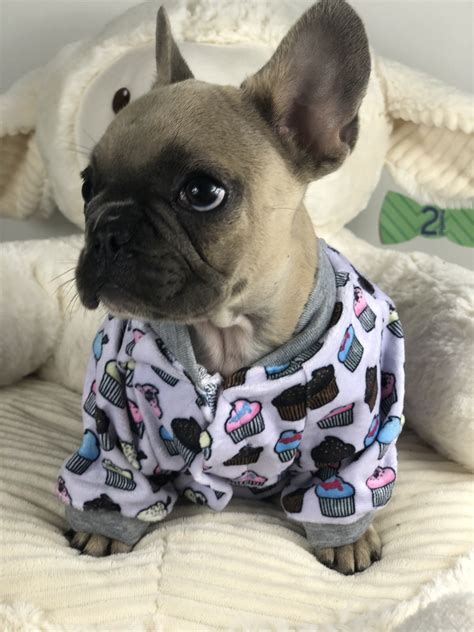 Our Guide: French Bulldog Colors and Color Patterns