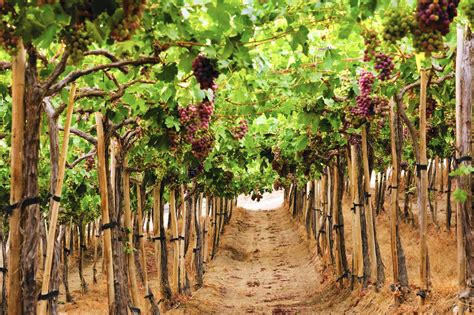 What you need to know about Chilean wine - Chicago Tribune