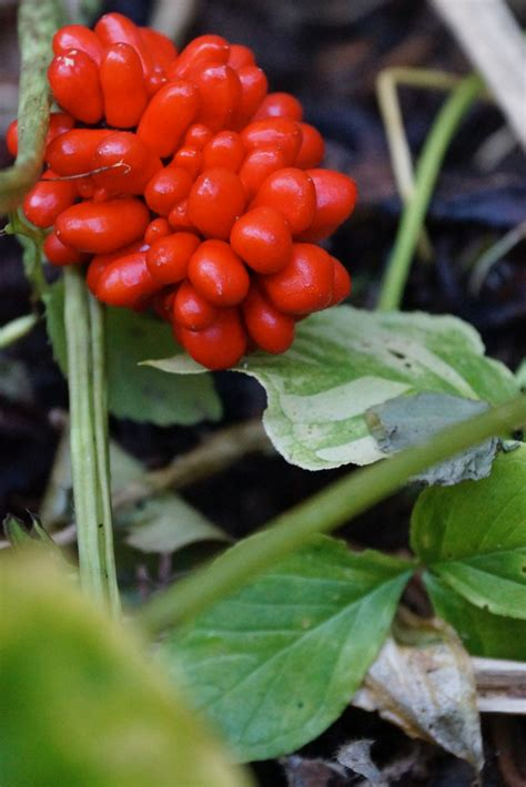Jack-in-the-pulpit (Arisaema triphyllum) – Wild Seed Project